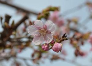 北杜市で桜が開花