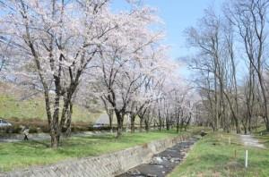 茅野市運動公園の桜が見頃です