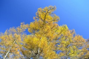 カラマツの紅葉(入笠山)