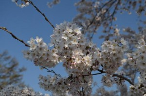 茅野市運動公園の桜アップ