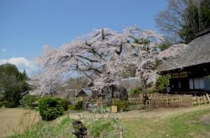 高森観音堂のしだれ桜
