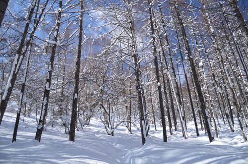 明るくきれいなからまつ林