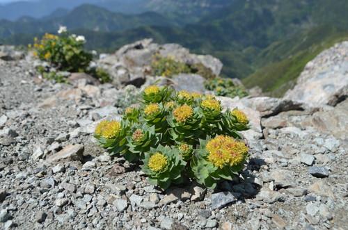 北岳山頂のイワベンケイ