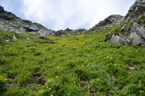シナノキンバイのお花畑