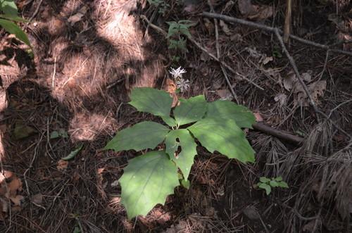 茅ヶ岳のカシワバハグマ