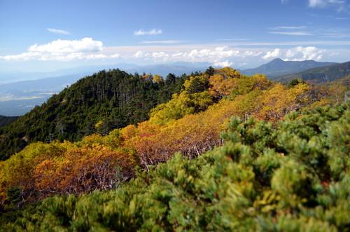 権現岳への途中のダケカンバの紅葉