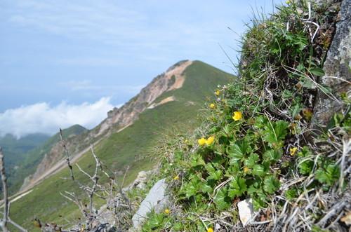 八ヶ岳のミヤマダイコンソウ