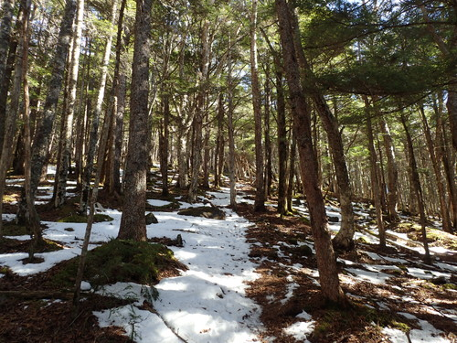 雪が少しでてきた樹林帯