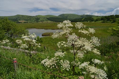 シシウド咲く八島ヶ原湿原