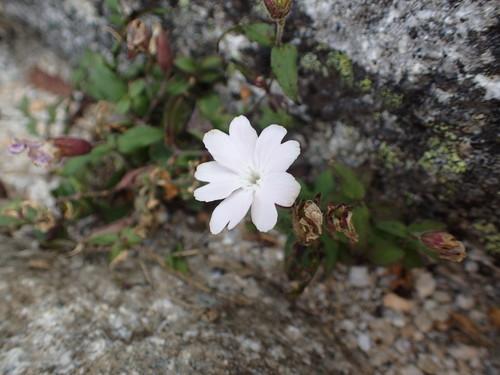 白花のタカネビランジ