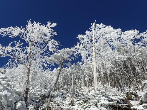 青空と雪のついた樹々