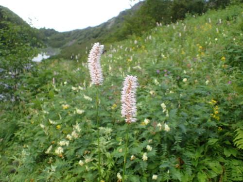 北岳のお花畑