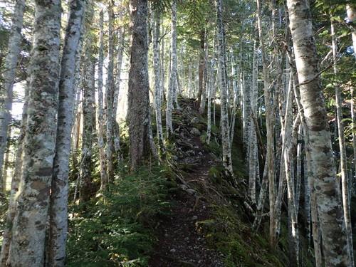 シラビソの森